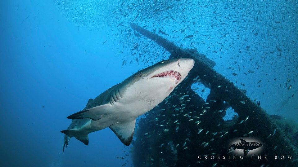 Shark hakkai